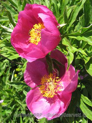 Peonia (<i>Paeonia officinalis<i> L.)