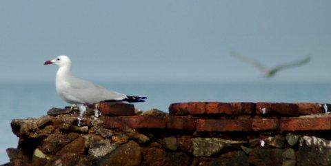 gabbiano corso (Larus audouinii)