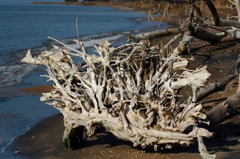 radici di tronco spiaggiato