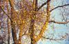 Vischio quercino (<i>Loranthus europaeus</i> L.)
