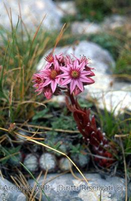 Borracina montana