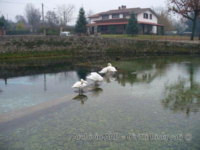Cigni alle sorgenti di Santa Susanna
