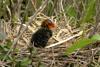 Folaga nel nido