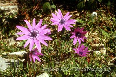 Anemone appenninica