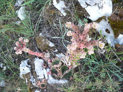 Semprevivo (<i>Sempervivum</i> sp.)