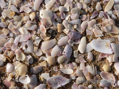 Resti di molluschi sulla battigia - Sabaudia