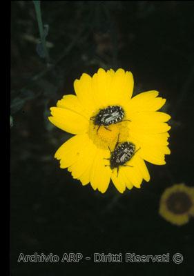 Coleotteri su fiore