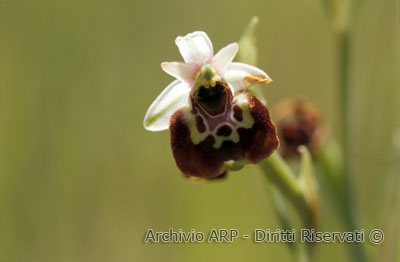 Orchidea (<i>Ophrys</i> sp.)