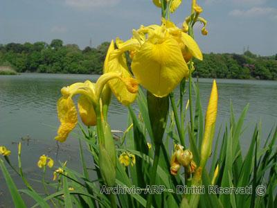 iris giallo