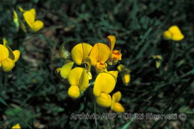 Ginestra (<i>Spartium junceum</i> L.)