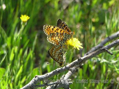 Farfalla in accoppiamento