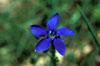 Genziana (<i>Gentiana verna</i> L.)