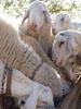 Pecore - fattoria didattica la Buona Terra