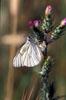 Una farfalla sul fiore di cardo