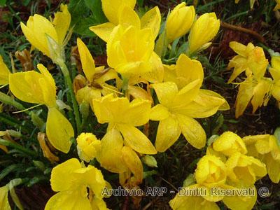 Zafferano giallo