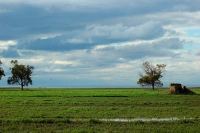 Campo e eucalipti