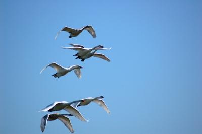 Cigni in volo
