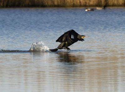 Cormorano in partenza
