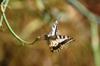 Papilio macao