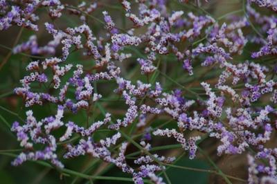 Limonium fiori