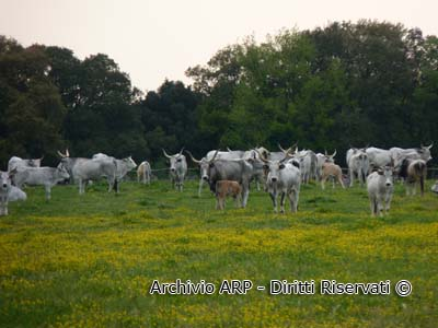 Vacche maremmane al pascolo