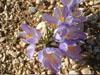 Zafferano (<i>Crocus sativus</i> L.)